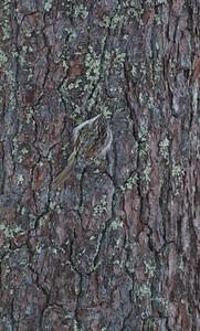 Brown Creeper Skogstjarna Carlton Co MN IMG_0017006
