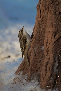 Brown Creepers will come to suet in the winter—often feeding on scraps beneath the feeder. Note the long curved bill for searching under bark crevices for insects, spiders, eggs, etc. [January; Skogstjarna, Carlton County, Minnesota]