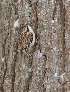 Brown Creeper Welcome Center site Owl Avenue Sax-Zim Bog MN IMG_0073624