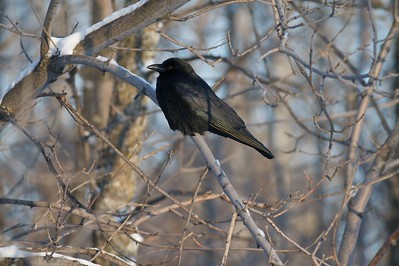 Many American Crows fly south in the fall. This one has stayed for the winter [January; Gary New Duluth, Minnesota]