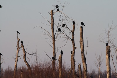 Crows roost on snags [December; Sax-Zim Bog, Minnesota]