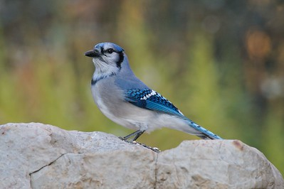 Blue Jay [October; Carlton County, Minnesota]