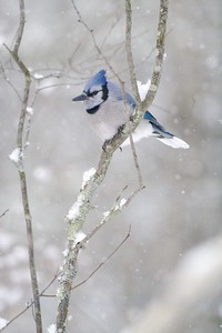 """Blue Jays are not """"mean""""...They are a beautiful bird that we all need to appreciate more [January; Skogstjarna Carlton County, Minnesota]"""