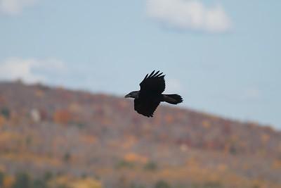 Common Raven Summit Ledges Hawk Ridge Duluth MN IMG_4018