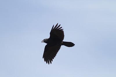 Common Raven in flight over Hawk Ridge Bird Observatory Duluth MN IMG_0248