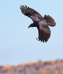 Common Raven in flight over Hawk Ridge Bird Observatory Duluth MN IMG_0283