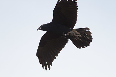 Common Raven in flight over Hawk Ridge Bird Observatory Duluth MN IMG_0259