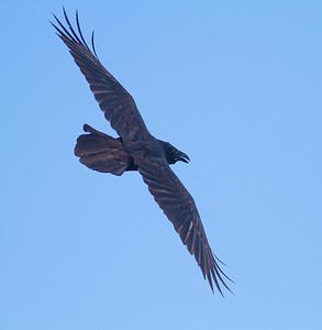 Common Raven in flight over Hawk Ridge Bird Observatory Duluth MN IMG_0295