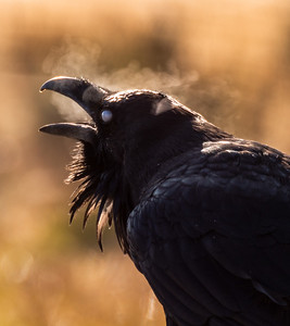 Common Raven backlit breath Yellowstone National Park WY -1000105