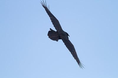 Common Raven in flight over Hawk Ridge Bird Observatory Duluth MN IMG_0294