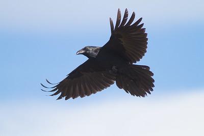 Common Raven in flight over Hawk Ridge Bird Observatory Duluth MN IMG_0266