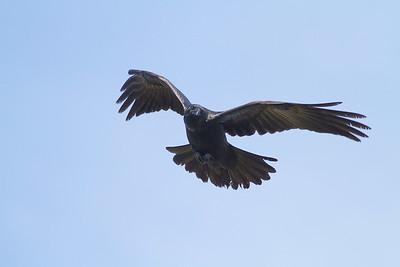 Common Raven in flight over Hawk Ridge Bird Observatory Duluth MN IMG_0253