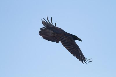Common Raven in flight over Hawk Ridge Bird Observatory Duluth MN IMG_0272