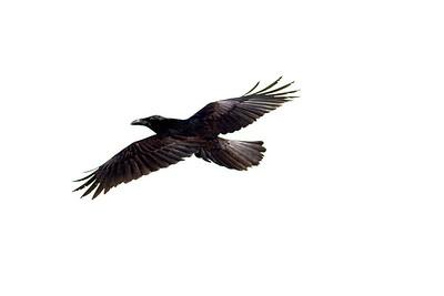 Common Raven in flight over Hawk Ridge Bird Observatory Duluth MN IMG_0269