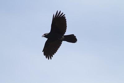 Common Raven in flight over Hawk Ridge Bird Observatory Duluth MN IMG_0247