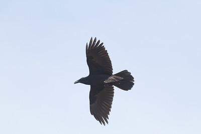 Common Raven in flight over Hawk Ridge Bird Observatory Duluth MN IMG_0250