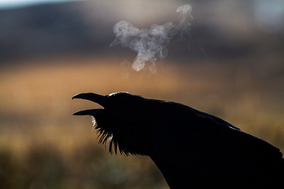 Common Raven backlit breath Yellowstone National Park WY -0710