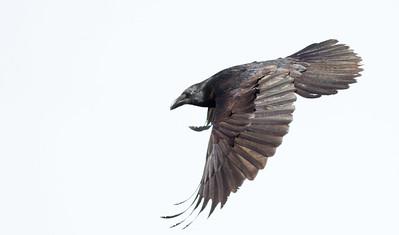 Common Raven in flight over Hawk Ridge Bird Observatory Duluth MN IMG_0271