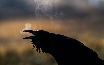 Common Raven backlit breath Yellowstone National Park WY -0704