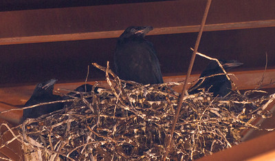Common Raven nest with four nestlings under railroad bridge MN23 near St  Louis River Gary New Duluth MN IMG_2047