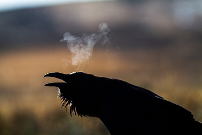 Common Raven backlit breath Yellowstone National Park WY -0709