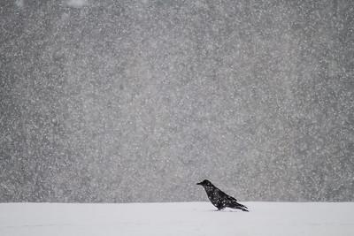 Common Raven in snow Skogstjarna Carlton County MNIMG_0929