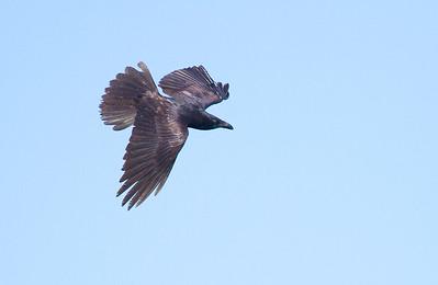Common Raven in flight over Hawk Ridge Bird Observatory Duluth MN IMG_0290