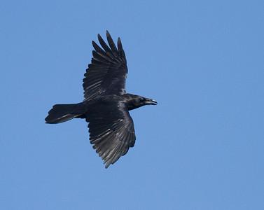 Common Raven in flight over Hawk Ridge Bird Observatory Duluth MN IMG_0212