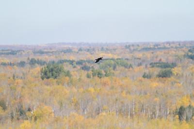 Common Raven in flight over Hawk Ridge Bird Observatory Duluth MN IMG_0240