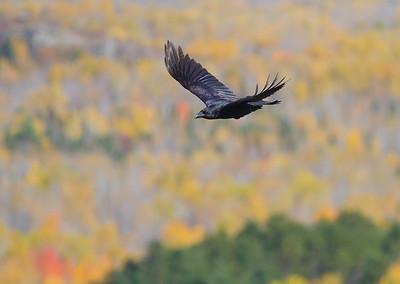 Common Raven in flight over Hawk Ridge Bird Observatory Duluth MN IMG_0285