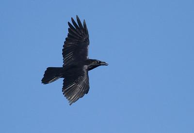 Common Raven in flight over Hawk Ridge Bird Observatory Duluth MN IMG_0213