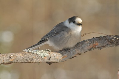 Gray Jays love suet...and peanuts...and gorp...and bacon...Basically they'll eat whatever you offer them...Sometimes right out of your hand! [January; Admiral Rd, Sax-Zim Bog, Minnesota]