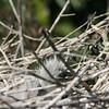 Gray Heron Juvenile
