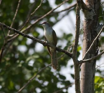 Black-billed Cuckoo nr Moose Lake MN IMG_6777