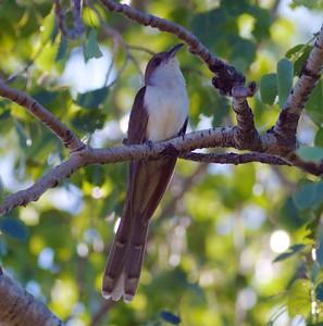Black-billed Cuckoo Gravel Pit Admiral Road Sax-Zim Bog MN IMG_4947