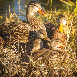 MOTTLED DUCKS MOM and DAD with the kids