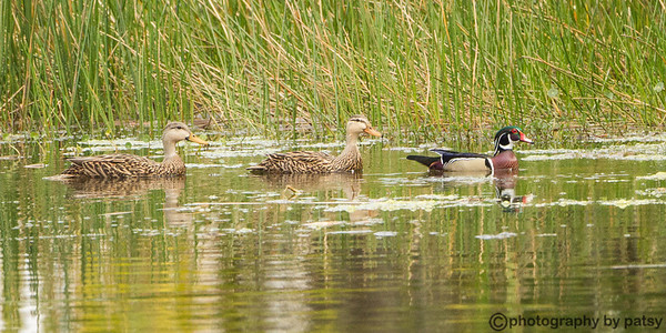 WOOD DUCK with HAREM