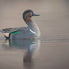 GREEN WING TEAL - PATCHOGUE