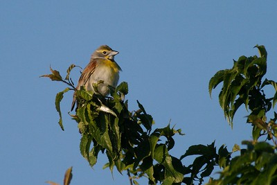 Dickcissels are semi-colonial, nesting nearby many others in weedy fields [June; Blue Mounds State Park, Rock County, Minnesota]