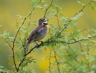 Dickcissels are semi-colonial, nesting nearby many others in weedy fields [April; Sick Dog Ranch near Alice, Texas]