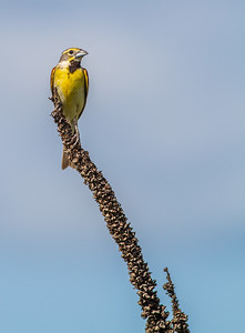 Dickcissel Swedes Forest SNA Yellow Medicine County MN Minnesota River Valley trip July 23-24 2019-8485