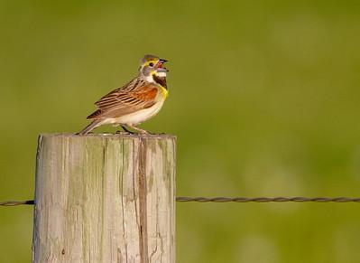 Dickcissel fence post Matten Road Carlton County MN IMG_0162
