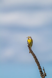 Dickcissel Swedes Forest SNA Yellow Medicine County MN Minnesota River Valley trip July 23-24 2019-8482