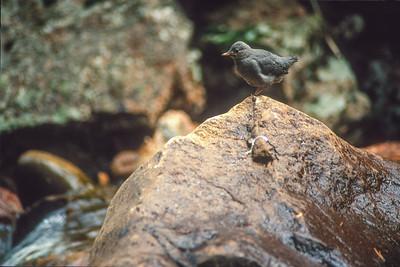 Dipper SLIDE SCAN BIRDS-66