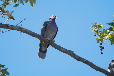 Band-tailed Pigeon CA IMG_0647 CR2