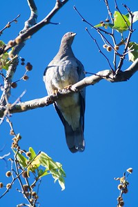 Band-tailed Pigeon CA IMG_0649 CR2