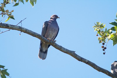 Band-tailed Pigeon CA IMG_0648 CR2