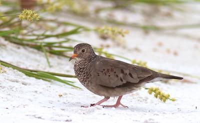 Common Ground Dove Estero Beach Lagoon Ft  Myers Beach FL IMG_3814 CR2