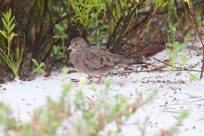 Common Ground Dove Estero Beach Lagoon Ft  Myers Beach FL IMG_4343