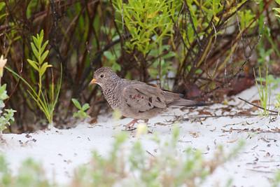 Common Ground Dove Estero Beach Lagoon Ft  Myers Beach FL IMG_4344 CR2